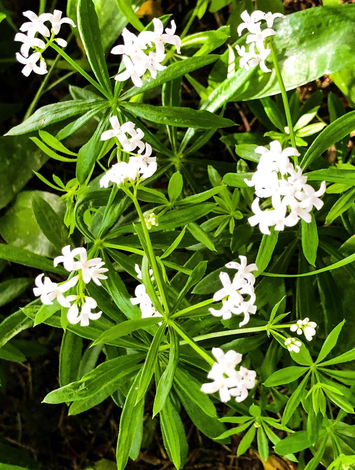 sweet woodruff flowering