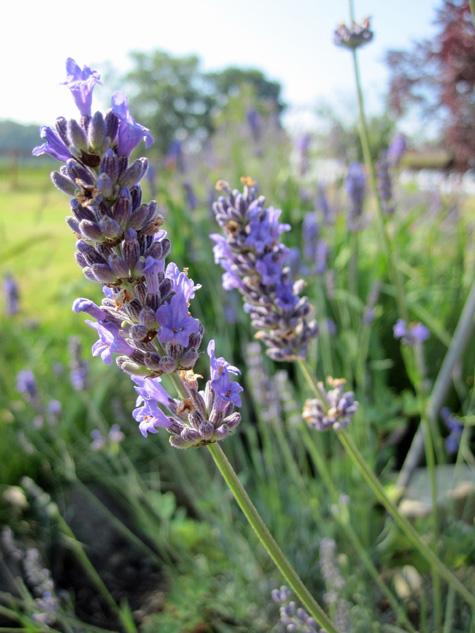 lavender and milk bath soak
