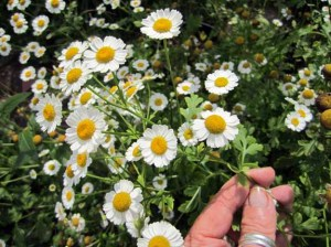 Feverfew For Megranes