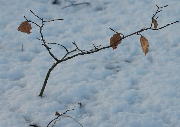 SnowTinyTree