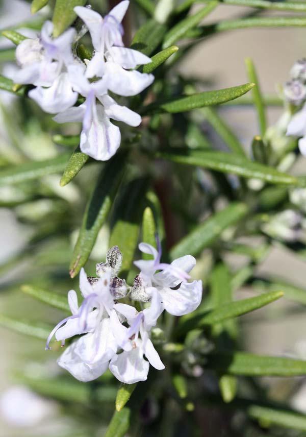 RosemaryFlowers2