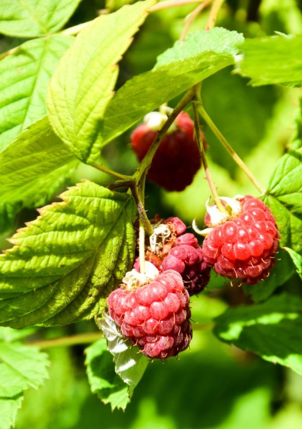 RaspberriesGrowing