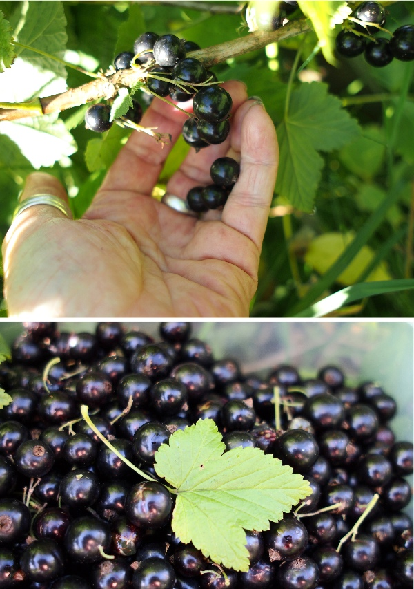 blackcurrants2