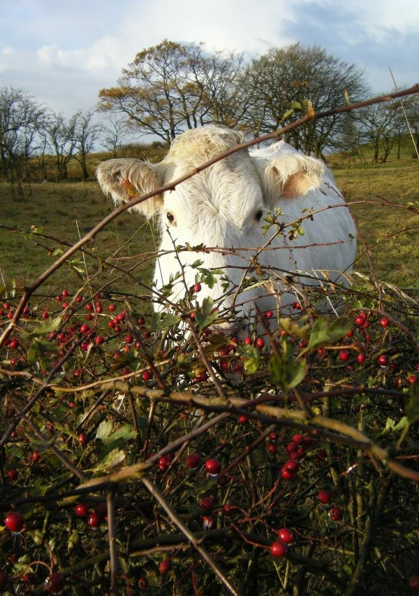 Hedgerow with cow looking over
