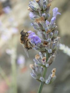 How To Make Lavender Infused Honey