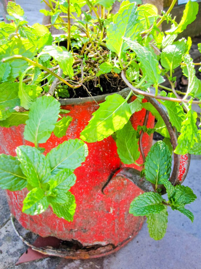 mint in old watering can