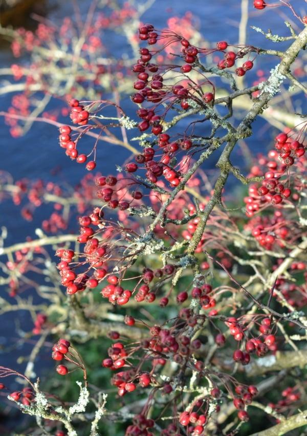 Hawsthorn Berries1