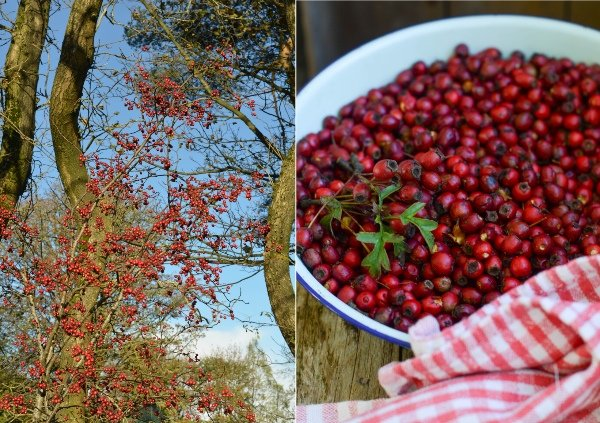 Hawthorn Berries on bushes