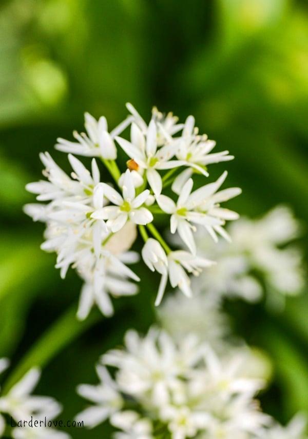 wild garlic oil by larderlove 3