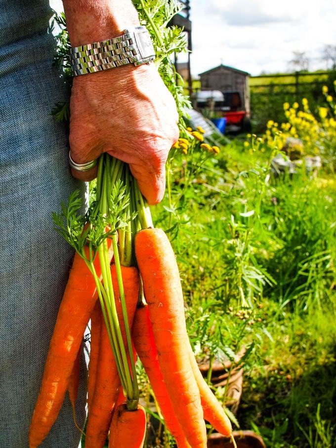 carrots in my hand in garden