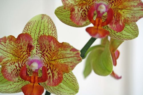 OrchidColour
