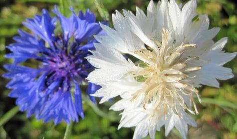 Fcornflowers